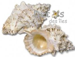 http://www.decos-des-iles.com/Coquillage-deco-bursa_462_296_1416.html
